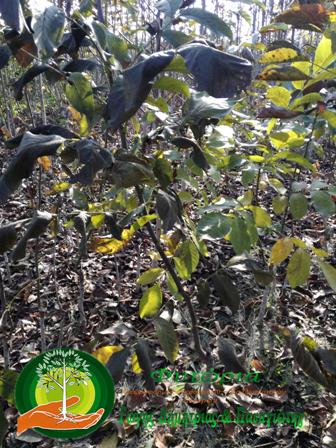 Γυμνόριζα Δέντρα ΚΑΡΥΔΙΑΣ