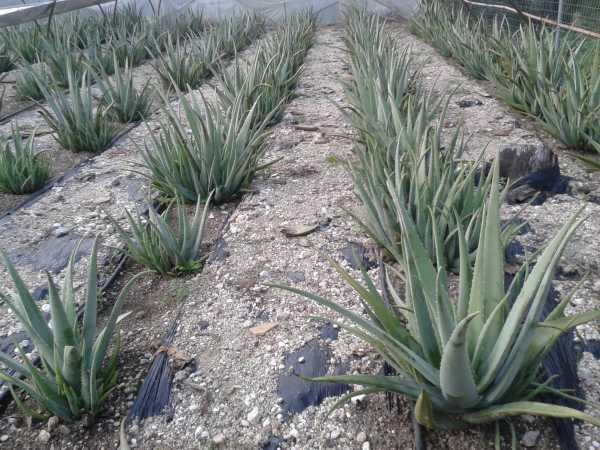 Διατίθεται Aloe vera